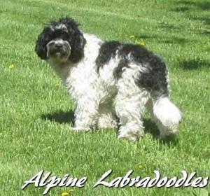 Alpine Labradoodles Charlie Chaplin
