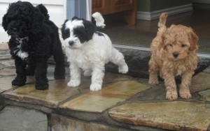 Alpine Labradoodles puppies in BC Canada