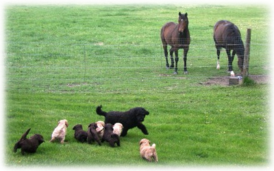 Labradoodles and horses at play