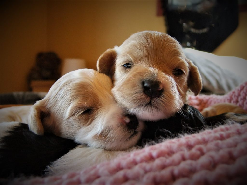 Puppies avialable | Alpine Labradoodles